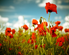 Poppy Field (furious_george_ii) Tags: flowers blue red summer sky green eye field clouds scarlet landscape sussex brighton dof candy bokeh poppy poppies processed muted remembering canoneos5d colorsofthesoul canonef24105mmf40lisusmlens