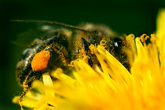 Bumble Bee (LikClick Photography) Tags: summer plants flower macro nature grass yellow canon bug insect bee    natureselegantshots