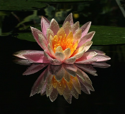 First Water Lily of 2009