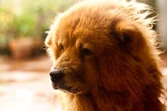 Chowei (WetCraft) Tags: dog pet slr animals canon 50mm manila jerome doggy dslr 2009 pinoy chua chowchow canon50d jeromechua