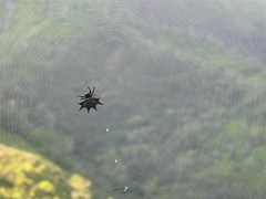 Asian Spiny Back Spider (ptoler) Tags: kauai napalicoast