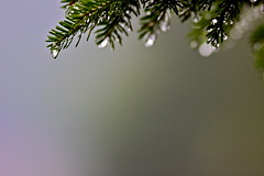 """"""" Just a drop in the bokeh """" (gmayster01 on & off ...) Tags: canada nature flickr quebec bokeh refraction raindrops newaygo gouttesdepluie gmayster01 gmayster"""