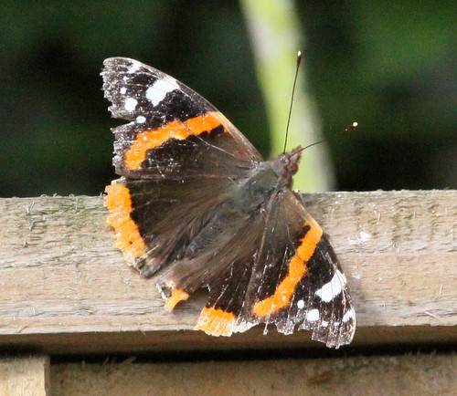 Wind Battered Red Admiral Butterfly