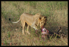 Lion Food (Robbert van der Steeg) Tags: food kenya lion mara meal simba masai masaimara leeuw robbert robbertvandersteeg vandersteeg rvandersteegnl