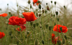 Poppies (Michael Terry Photo UK) Tags: remember poppy poppies rememberance favourite