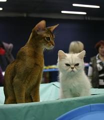 White and golden (Zerteh) Tags: cats white cat golden kitten abyssinian catshow       russiansafari