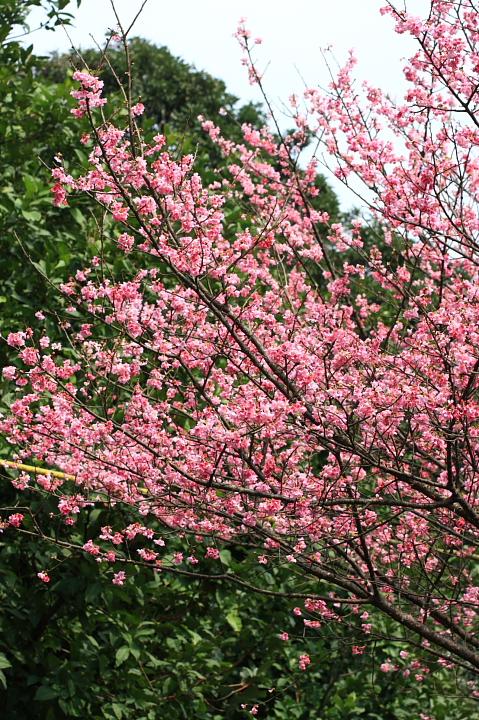 三芝櫻花27