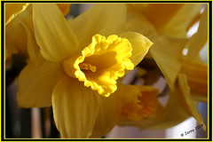 "HAPPY    ""SAINT DAVID'S DAY"" (welshlady) Tags: yellow wales memorial daffodil patronsaint stdavidsday captainscott saintdavid welshlady supershot dewisant march1st welshemblem"
