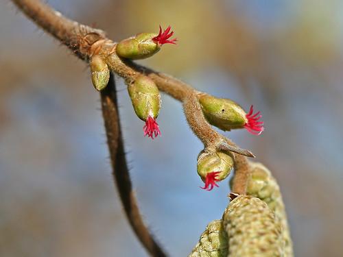 Blüten der Hasel