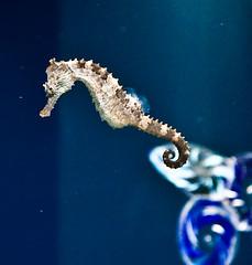 Seahorse (julesnene) Tags: travel nature oregon aquarium seahorse unique pacificocean newport oregoncoast centralcoast oregoncoastaquarium hippocampus mateforlife monogamous julesnene juliahsumangil unusualequineshape malebearstheunbornyoung