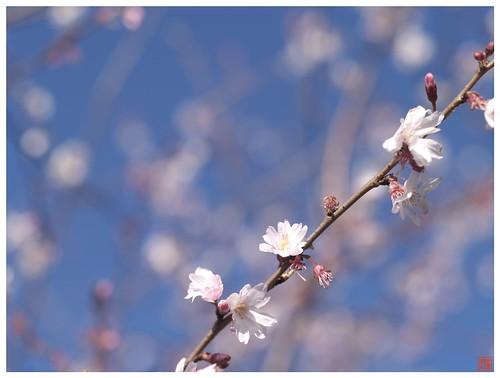 Cherry blossoms 090315 #02