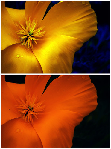 California poppy experiment
