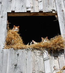 55:365 Barn cats