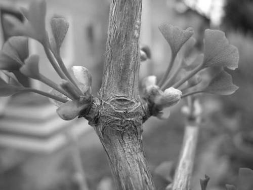 Growth scar