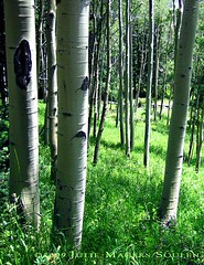 An aspen filled meadow in the Rocky Mountains of Colorado.