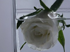 studio sul bianco (2 di 3) (l'eremita) Tags: verde water foglie rosa acqua bianco vaso rifiuto acceptance magia immersione affogare accettazione annegare