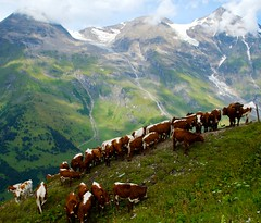 Cow He(a)rd (Kausthub) Tags: cloud mountain alps green nature grass canon austria cow wildlife soe austrianalps canoneos1dmarkiii photographyrocks winnr canonefllens
