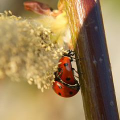 Cosy Hideout (binaryCoco) Tags: macro insect spring hannover ladybird ladybug makro insekt frhling marienkfer frhjahr laatzen cmwdred