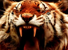 I am Tiger, Hear me ROAR! (Little Lioness) Tags: orange white tongue teeth tiger yawn rawr growl roar siberiantiger snarl roaring pantheratigrisaltaica amurtiger pantheratigris tigerinacage animal