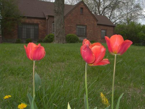 Guardian Tulips