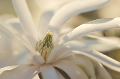 (Minette Layne) Tags: tree magnolia lateafternoonsun magnoliastellata starmagnolia myfrontyard