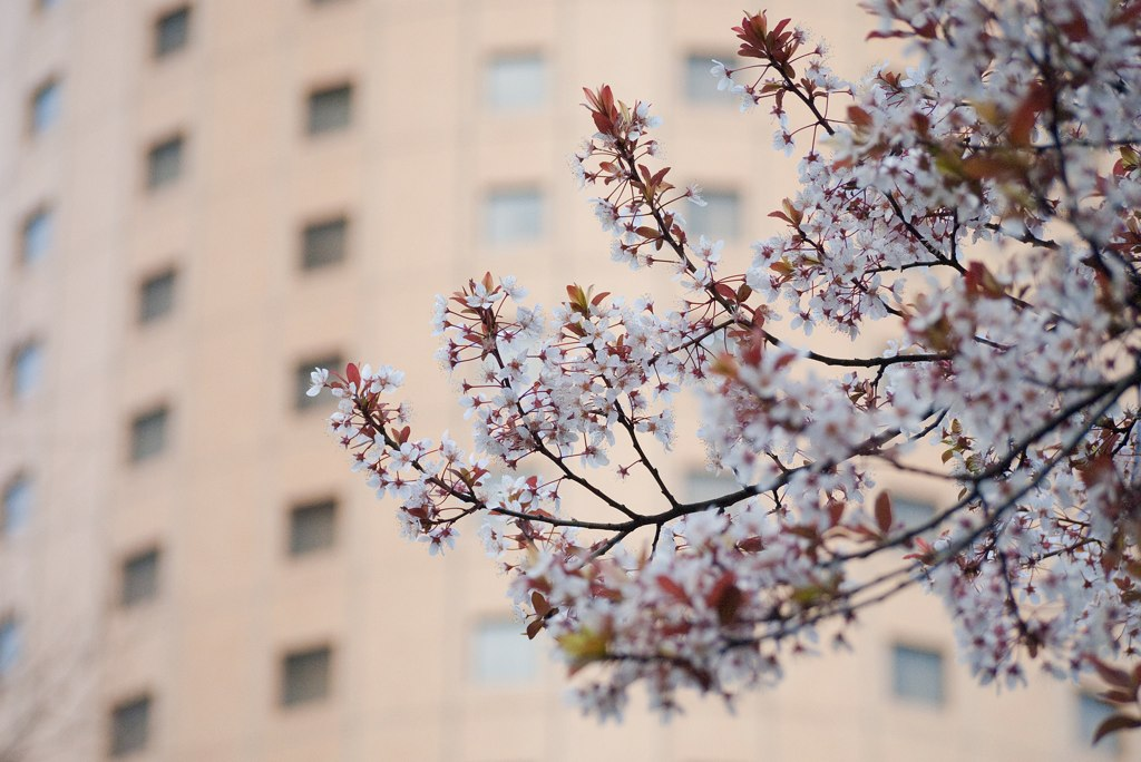 Cherry blossoms blooming in the area with large buildings