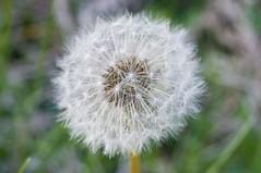 Dandelion-7 (EDBW) Tags: white plant flower macro iso3200 dandelion 60mm nikkor 3200 1320 f11 lightroom macrolens d300 wishingflower