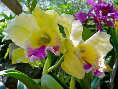 At the 'Gardens of the Sleeping Giant' ..... (abbietabbie) Tags: orchid yellow gardens fiji purple explore cattleya nadi sleepinggiant raymondburr naturesfinest fantasticflower