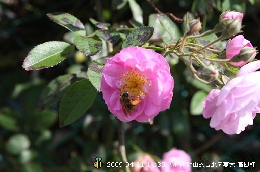 09.04.11 漂亮的爬藤薔薇@陽明山 (3)