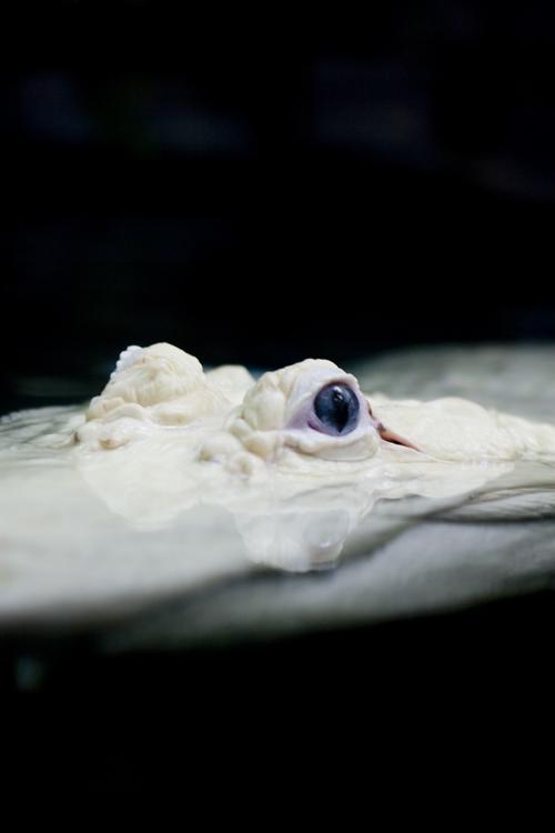 Gator eyes.