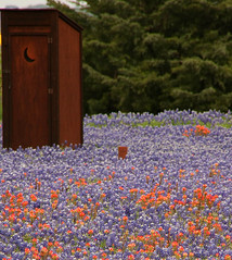 all the conveniences of home when viewing wildflowers...  ;o) (jmtimages) Tags: flowers moon primavera john spring texas afternoon outdoor country april wildflowers friday outhouse 2009 printemps bluebonnets potty indianpaintbrush washingtoncounty platinumphoto