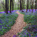 Bluebell Path In Andrews woods
