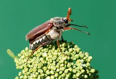 Maikfer (motivsucher) Tags: macro bug spring mygarden makro springtime kfer frhling maikfer maybug 70400mm sal70400g