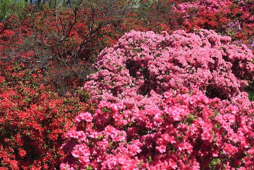 フリー画像| 花/フラワー| ツツジ| 日本風景|        フリー素材|