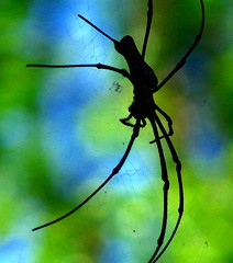 Singapore spider (BB33FR) Tags: beautiful spider nice singapore picture most singapour 1001nights bss blueribbonwinner photographyrocks platinumheartaward quarzoespecial bb33fr mbpictures