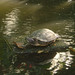 Turtle at Jim Thompson's House