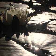 Water lilly pond (Rosmarie Wirz) Tags: flower reflections pond waterlily eveningsun backlighting flickrmarketplace
