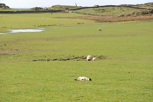 羊が寝ている