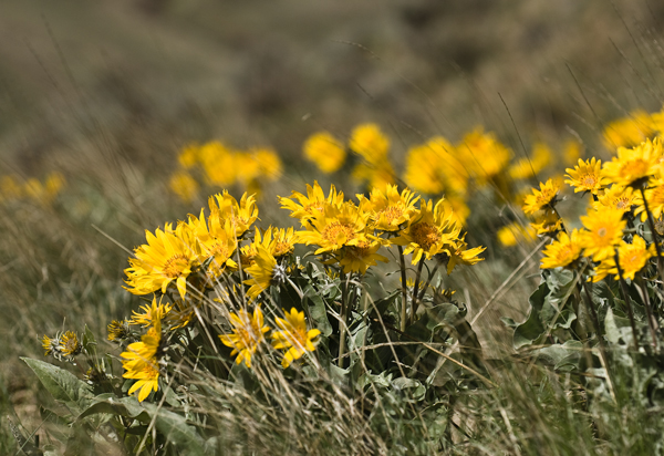 balsamroot blowin in the wind