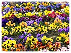 Burgos -Lerma'09 Pensamientos (ferlomu) Tags: ferlomu lerma burgos iglesia pensamientos flower