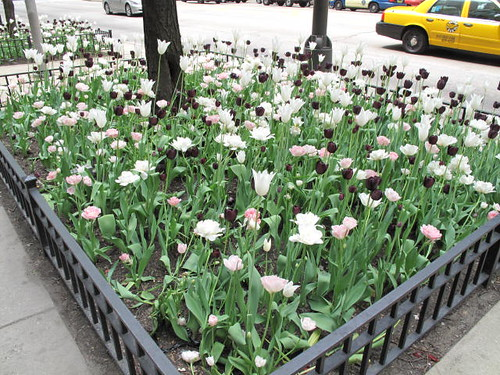 Tulips on the Magnificent Mile - Chicago