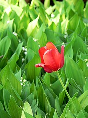Tulip with Lilies