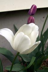 Tulips_5709c