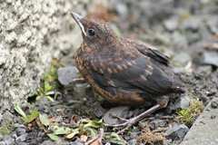 BABY BLACKBIRD, the lucky one. (the water watcher 05.) Tags: blackbird fledgeling turdusmerula chick gorling hawick scotland borders scottishborders town village canoneos350d black bird birds ringexcellence nature wildlife roxburghshire brown babyblackbird wall stonewall garden gardenbird avian weeds summer dof bokeh maleblackbird youngblackbird feather beak green