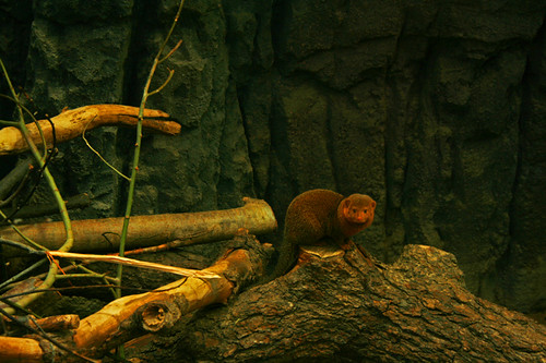 Baby mangust