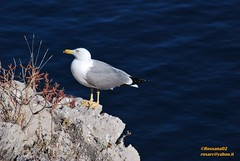 jonathan (Rossana Arcoleo) Tags: sea mer mar nikon mare seagull natura sicily palermo sicilia rossana gabbiano d60 sicile palerme capozafferano arcoleo rossana02 rossanaarcoleo