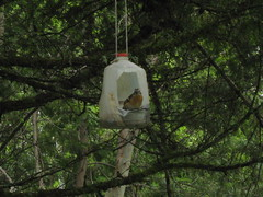 Spotted Towhee in his favorite feeder (boondockma) Tags: school wild tree green bird home nature oregon yard rural canon project outside milk back spring wings woods backyard branch afternoon recycled country wing craft feeder science powershot homemade jug spotted limb homeschool boondocks towhee boondock a470 powershota470