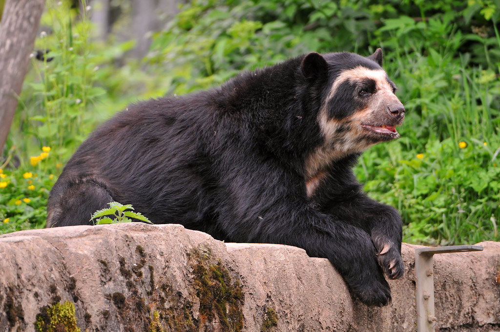 Lounging spectacled bear