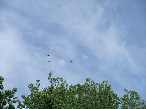 birds chasing