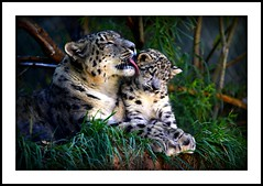 _MG_7244 (Ralston Images) Tags: animal cat canon feline wildlife leopard puma panther snowleopard canon5dmkii jrphotography photocontesttnc09 pantheraunciauncia jasonralstonphotography